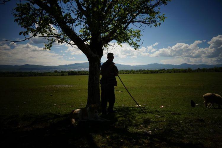 Les troupeaux sont omnipresents en Kakhetie et en Kazbegi. Les bergers et leurs chiens encadrent moutons, vaches ou chevaux dans de superbes a travers routes et a flanc de montagne.