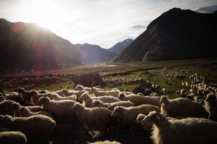 Moutons en Kazbegi
